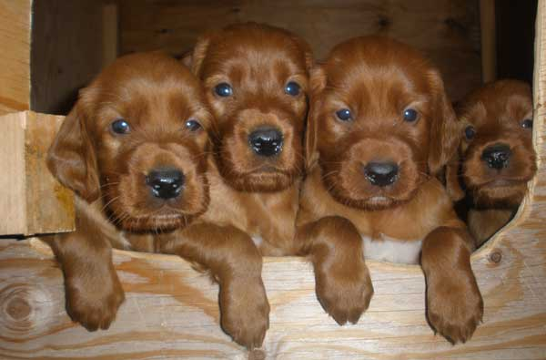 puppies_medium